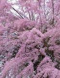 Tamarix tree. Pink tamarix tree blooming in spring Royalty Free Stock Images