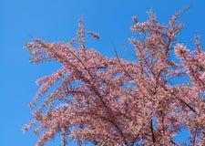 Tamarix tree. Pink tamarix tree blooming in spring Stock Images