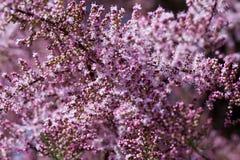 Tamarix tree. Pink tamarix tree blooming in spring Stock Photos