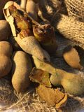 tamarynda Fotografia Royalty Free