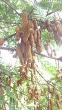 tamarynda zdjęcie royalty free