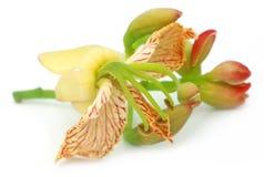 Tamarynda kwiat Zdjęcie Royalty Free
