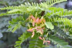 tamarynda kwiat Zdjęcia Stock