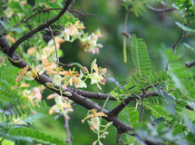 tamarynda kwiat Zdjęcie Stock