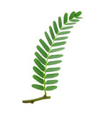 Tamarynda liść odizolowywający na bielu Zdjęcie Royalty Free