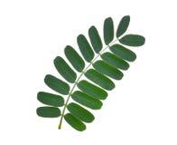 Tamarynda liść odizolowywający na bielu Obraz Stock