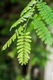 Tamarynda liścia zakończenie up Fotografia Stock