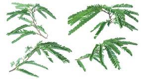 Tamarynda liście odizolowywający na białym tle z ścinek ścieżką obrazy royalty free