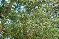 Tamaryndy drzewa ziele? plenerowa fotografia stock