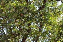 Tamaryndy drzewo zdjęcie stock