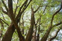 Tamaryndy drzewo Zdjęcie Royalty Free