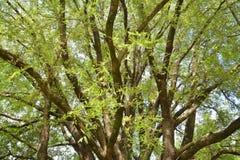 Tamaryndy drzewo Zdjęcia Royalty Free