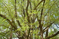 Tamaryndy drzewo Obraz Royalty Free