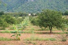 Tamaryndy plantacja 1 Zdjęcie Royalty Free
