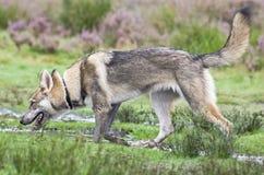Tamaskan Wolfdog Imagen de archivo libre de regalías