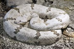 Tamaulipan Rock Rattlesnake Royalty Free Stock Images