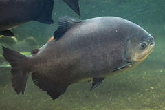 Tambaqui (Colossoma macropomum), also known as the giant pacu. Royalty Free Stock Image