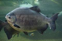 Tambaqui (Colossoma macropomum), also known as the giant pacu. Royalty Free Stock Photos