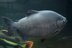 Tambaqui (Colossoma macropomum), also known as the giant pacu. Royalty Free Stock Photography