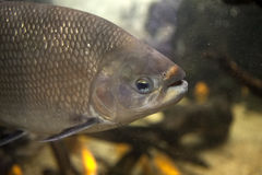 Tambaqui fish Stock Photography