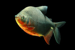 Tambaqui Fish Isolated On Black Royalty Free Stock Images