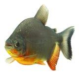 Tambaqui Fish Profile Royalty Free Stock Photography