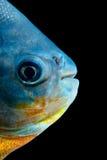 Tambaqui fiskhuvud Royaltyfria Bilder