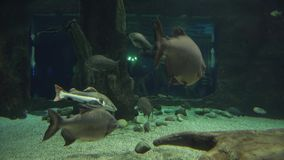 Tambaqui in freshwater aquarium stock footage video. Tambaqui in a freshwater aquarium stock footage video stock video footage