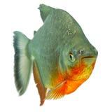 Tambaqui Pacu Fish Stock Photography