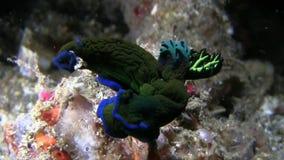 Tambja morosa, Black and blue nudi stock footage