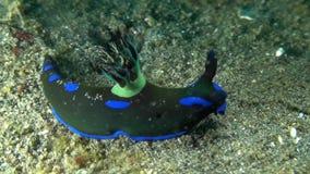 Tambja morosa Black and blue nudi stock footage
