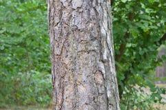 Tambor da árvore Imagens de Stock