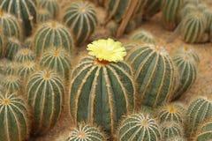 Tambor dourado Foto de Stock Royalty Free