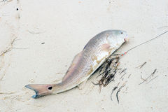 Tambor rojo, salmón   (Ocellatus del Sciaenops) en una playa arenosa Imagen de archivo