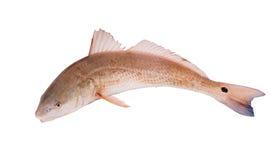 Tambour rouge, rouget commun   (Ocellatus de Sciaenops) d'isolement sur le dos de blanc Photo libre de droits