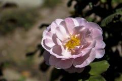 Tamburi distanti Rosa Fotografia Stock