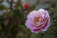 Tamburi distanti Rosa Fotografia Stock Libera da Diritti