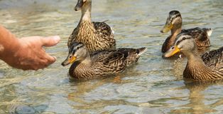 Tame allard ducks. Several tame mallard ducks and a hand of a person feeding them stock photography