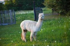 Tame alpaca can be fed from the hand. Animal royalty free stock image