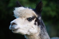 Tame alpaca can be fed from the hand. Animal stock images