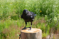 Tame black crow sitting on a wooden post in the background lit by the summer sun green vegetation and grass. Stock Photo