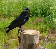 Tame black crow sitting on a wooden post in the background lit by the summer sun green vegetation and grass. Stock Image