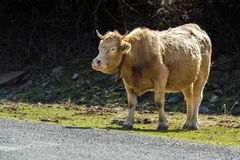 Tame bull 1. Brown tame bull pacing towards a pathway, with text space Stock Image