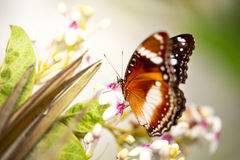 Tame butterfly Royalty Free Stock Photography
