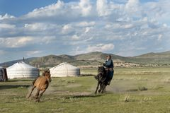 Tame and catch a horse in Mongolian stock photo