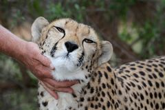 Tame Cheetah. Being petted by it's handler stock images