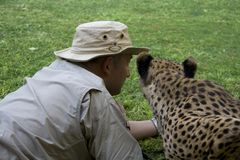 Tame cheetah getting very close Stock Images