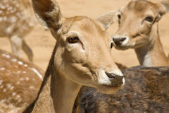 Tame deer. Close up of several tame deer looking to be fed royalty free stock photos