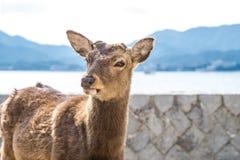 Tame deer resting on the streets of Miyajima Island Itsukushima Royalty Free Stock Photos