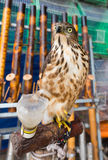 Tame falcon Royalty Free Stock Photography